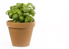 Basil Plant. A basil plant in terracotta pot on white background royalty free stock photography