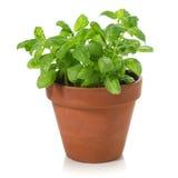 Basil Plant Royalty Free Stock Image