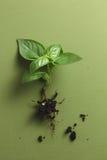 Basil Plant Fotografía de archivo
