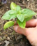 Basil Plant Image stock