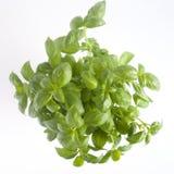 Basil Plant Fotografie Stock Libere da Diritti