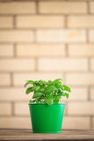 Basil Plant Immagine Stock Libera da Diritti