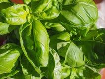 Basil Plant Fotografia de Stock