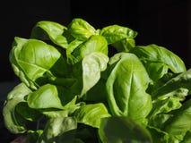 Basil Plant Imagem de Stock Royalty Free
