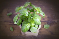 Basil Plant Fotografering för Bildbyråer