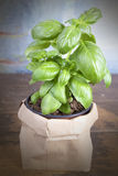 Basil Plant Photographie stock
