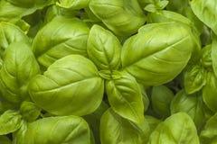 Basil Plant Stock Foto's
