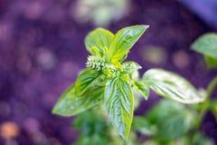Basil Plant Foto de Stock Royalty Free