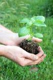 Basil Plant Royalty-vrije Stock Afbeeldingen