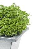 Basil plant Stock Photography