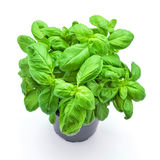 Basil Plant Images stock