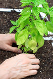 Basil Plant Being Cared for Royalty Free Stock Photo