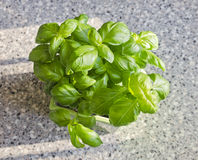 Basil plant with big green leaves Stock Images