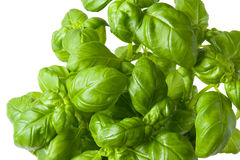 Basil plant closeup. A fresh green basil plant on white background stock images