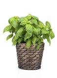 Basil Plant dans le pot photographie stock