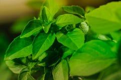Basil Plant Details Arkivfoto
