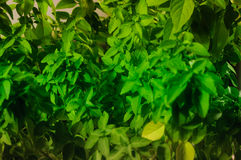 Basil Plant Details Royalty-vrije Stock Afbeelding