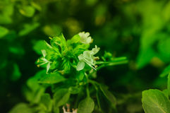 Basil Plant Details Royalty Free Stock Photography