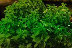 Basil Plant Details Royalty Free Stock Images