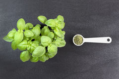 Basil plant and dried basil on dark background Stock Images