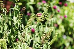Basil Plant en el jardín Foto de archivo libre de regalías