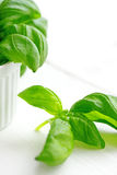 Basil plant in the flower pot. Organic basil plant in the flower pot on the white table Stock Photo