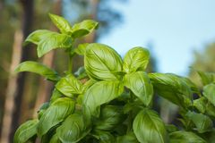 Basil plant in garden Stock Photo