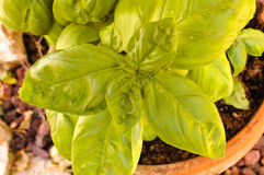Basil plant in a garden pot Royalty Free Stock Images