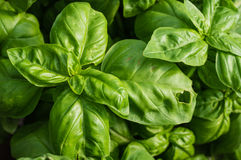 Basil plant with green leaves Royalty Free Stock Photos