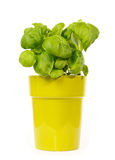 Basil plant in a green pot Royalty Free Stock Photos