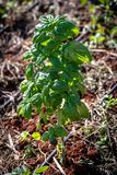 Basil plant growing in outdoor herb garden royalty free stock image