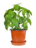 Basil Plant i kruka Royaltyfria Bilder