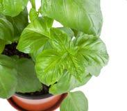 Basil Plant i kruka Royaltyfri Fotografi