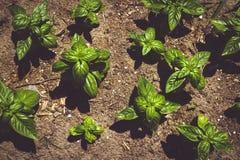 Basil Plant i trädgården Royaltyfri Bild
