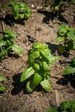 Basil Plant i trädgården Royaltyfri Fotografi