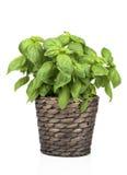 Basil Plant im Topf stockfotografie