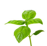 Basil plant Stock Images