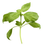 Basil Plant Stock Photo
