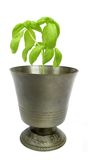 Basil plant in metal goblet Stock Photos