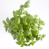 Basil plant Royalty Free Stock Photos