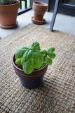 Basil Plant on Patio stock images