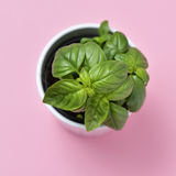 Basil plant in a plant pot Stock Image