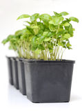 Basil plant in plastic pot. Stock Photo