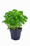Basil plant in pot Stock Photos