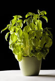 Basil plant in a pot Stock Photography