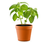 Basil Plant In A  Pot Stock Photos