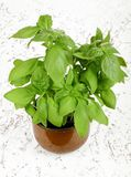 Basil plant in pot Stock Images