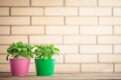 Basil plant Stock Image