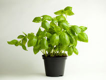Basil Plant in Pot Stock Afbeeldingen