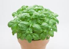 Basil plant Royalty Free Stock Photography
